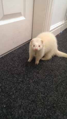 Found Unknown - Other Ferrets in Liverpool