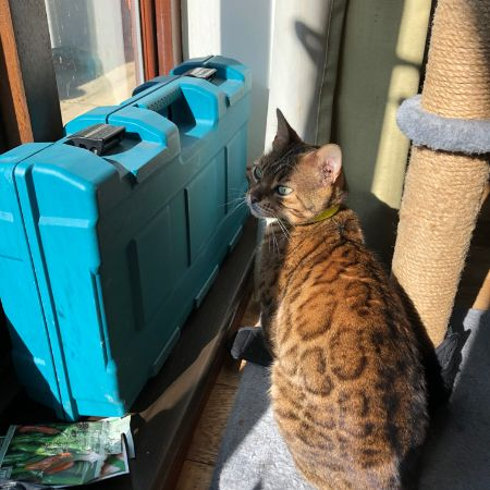 Found Bengal Cats in Southampton