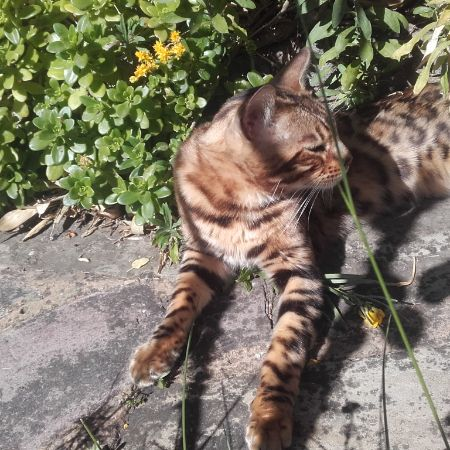 Found Bengal Cats in West Wimbledon