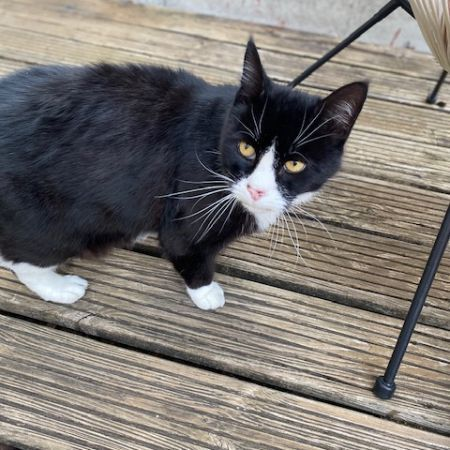 Found Domestic Short Hair Cats in Loughton