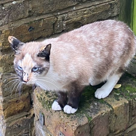 Found Tortoiseshell Cats in Kentish Town