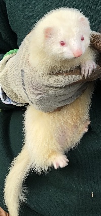 Missing Unknown - Other Ferrets in Kirmington