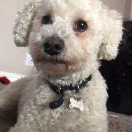 Missing Bichon Frise Dogs in Boxley