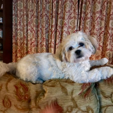Missing Shih Tzu Dogs in Exning, Newmarket