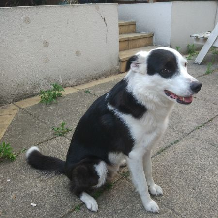 Missing Collie Dogs in North Acton