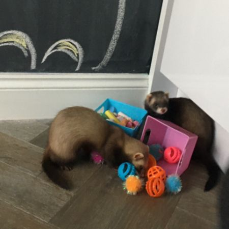 Missing Unknown - Other Ferrets in Garston, Watford