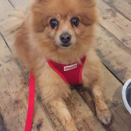 Missing Pomeranian Dogs in Hereford