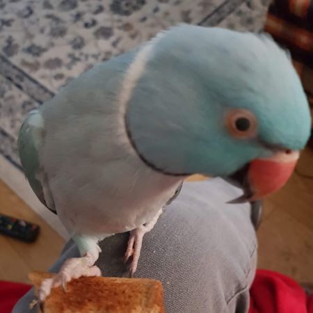 Missing Parrot, Parakeet Birds in Cardiff