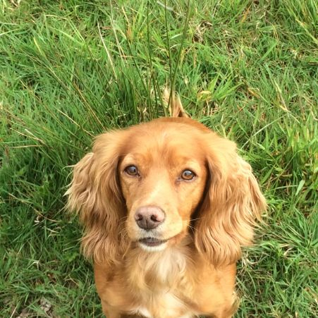 Missing Spaniel Dogs in North Tawton