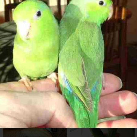 Missing Parrot, Parakeet Birds in York