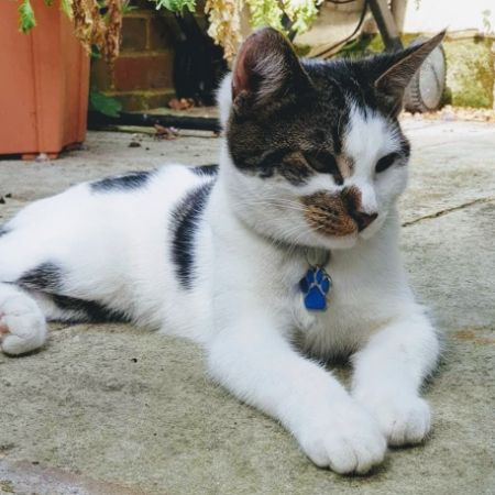 Missing British Short Hair Cats in Hurst Green, Etchingham, East Sussex
