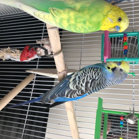 Missing Budgie Birds in Tunbridge Wells