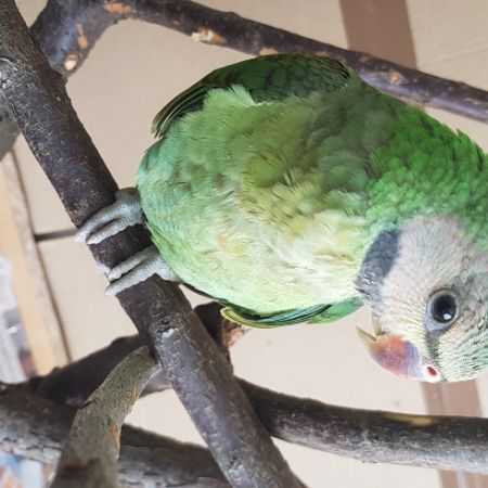 Missing Parrot, Parakeet Birds in Hounslow West