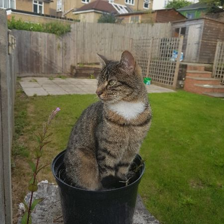 Missing Domestic Short Hair Cats in St. Albans
