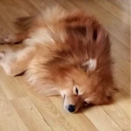 Missing Pomeranian Dogs in London
