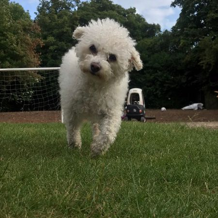 Missing Bichon Frise Dogs in Barnwood Gloucester