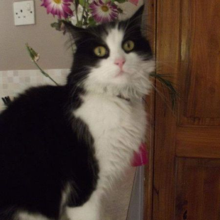 Missing Semi-Long Hair Cats in Great Yarmouth