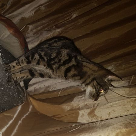 Missing Tabby Cats in Manor Park, London