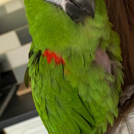 Missing Parrot, Parakeet Birds in Rosemarket
