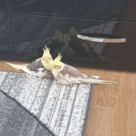 Missing Cockatiel Birds in CANTERBURY