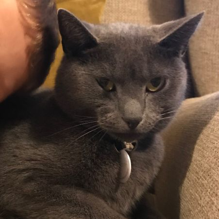 Missing Domestic Short Hair Cats in Hitchin