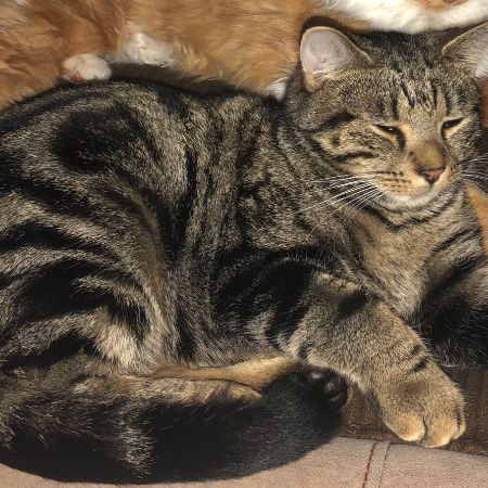 Missing Tabby Cats in Telford