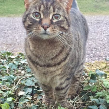 Missing Bengal Cats in Booley, Stanton