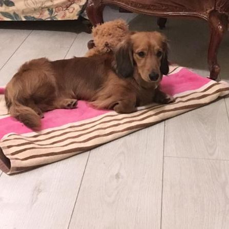 Missing Dachshund Dogs in Northchapel