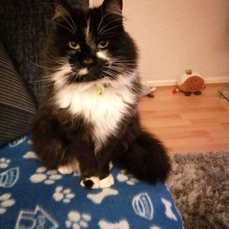 Missing Semi-Long Hair Cats in Salford