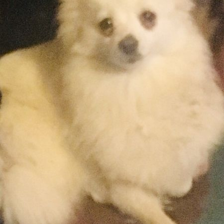 Missing Pomeranian Dogs in Forest Hill