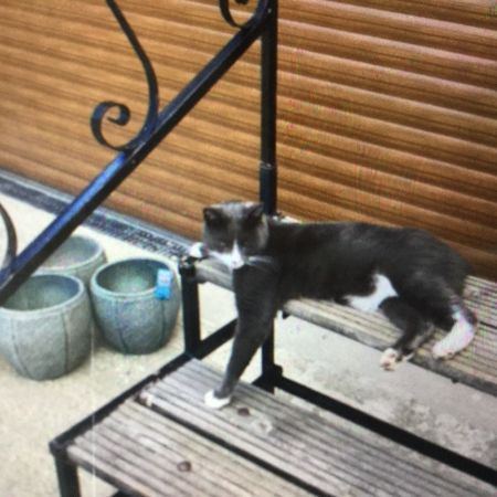 Missing Domestic Short Hair Cats in Maltby Le Marsh