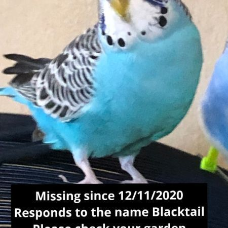 Missing Budgie Birds in Harrow On The Hill