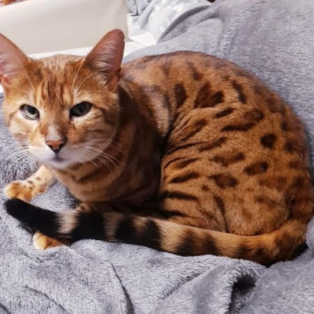 Missing Bengal Cats in LU31TW