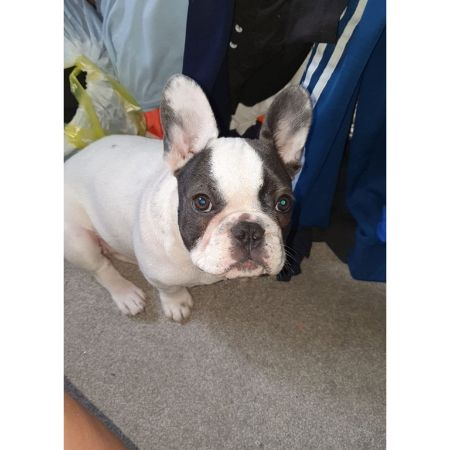 Missing Bulldog Dogs in Rainham