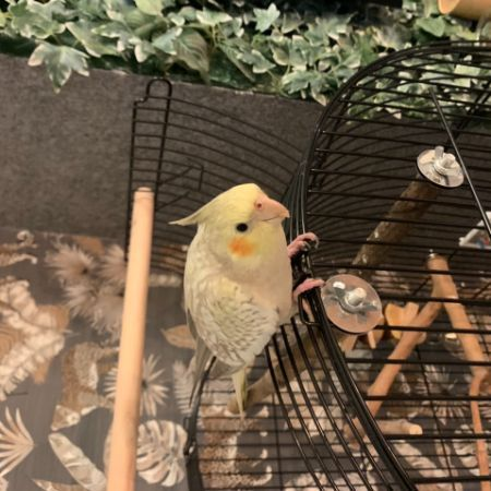 Missing Cockatiel Birds in Blackpool