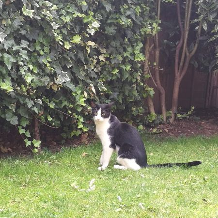 Missing Domestic Short Hair Cats in Hounslow