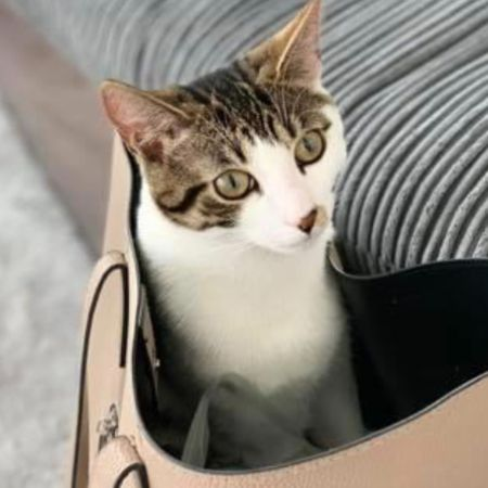 Missing Domestic Short Hair Cats in Ipswich