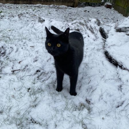 Missing Domestic Short Hair Cats in Laindon