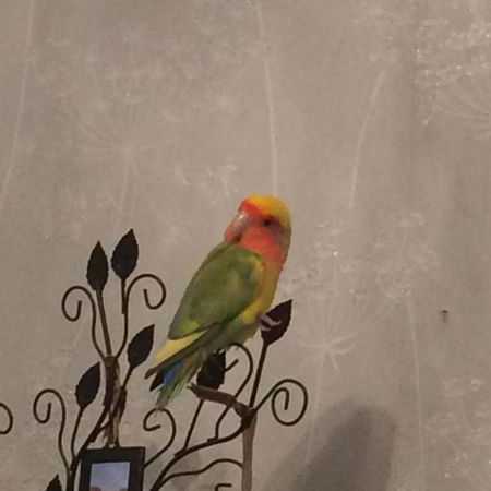 Missing Lovebird Birds in Shoeburyness Southend On Sea