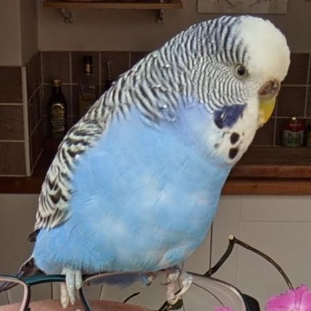 Missing Budgie Birds in Letchworth