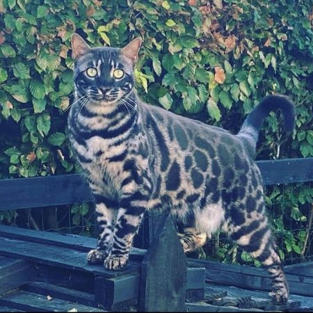 Missing Bengal Cats in Runcton, Chichester