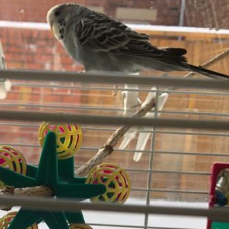 Missing Budgie Birds in Dunston