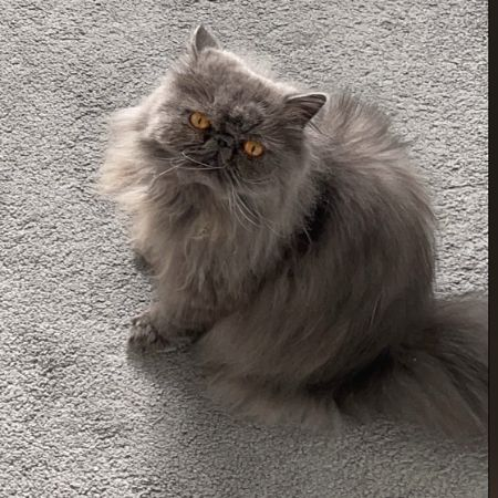 Missing Persian Cats in Pyrford