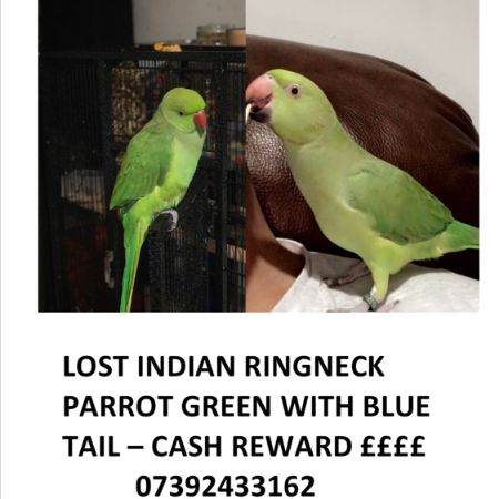 Missing Parrot, Parakeet Birds in Stepney Green E1