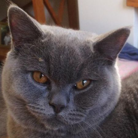 Missing British Blue Cats in Leamington Spa