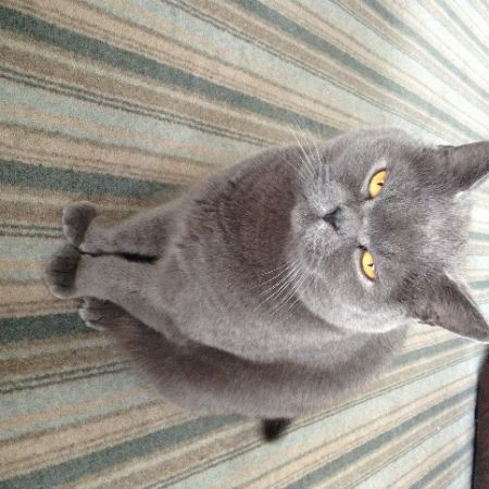 Missing British Blue Cats in Wythenshawe